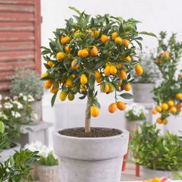 2ft Kumquat Tree | Citrus Japonica | Grafted Mini-Stem | 5L Pot