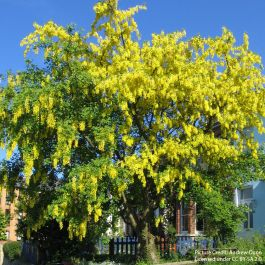 5ft Laburnum Tree | Bare Root | Laburnum x watereri 'Vossii'