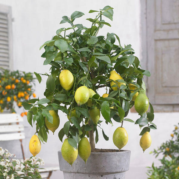 4ft Large Lemon Tree | Citrus Limonum | 12L Pot
