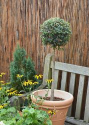 Pair of Privet Trees - 9l Mini Standard
