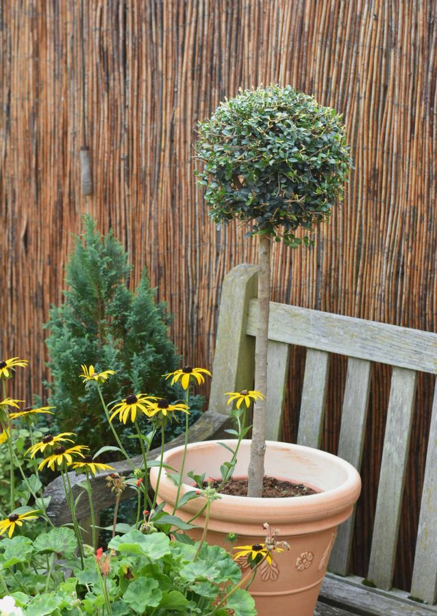 Privet Tree - 9l Mini Standard