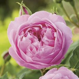 Louise Odier' Bush Rose - 5.5L Pot