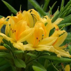 2ft Deciduous Azalea 'Luteum' | 5L Pot