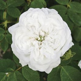 Madame Hardy' Shrub Rose - 5.5L Pot