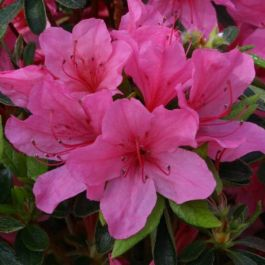 1ft Evergreen Azalea 'Madame Van Hecke' |3L Pot | Azelea japonica