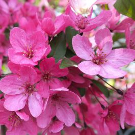 Red Glow' Crabapple Tree | Bare Root | Malus 'Red Glow'