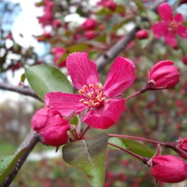 Royal Beauty' Crabapple Tree | Bare Root | Malus 'Royal Beauty'