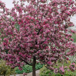 5ft 'Rudolph' Crabapple Tree | 12L Pot | Malus 'Rudolph' By Frank P Matthews™