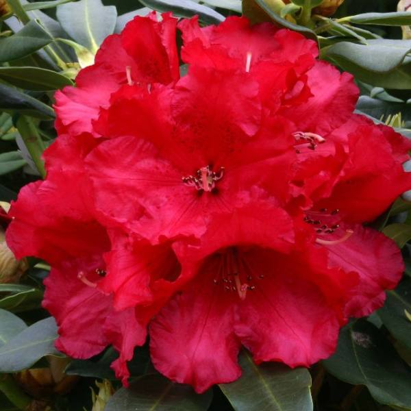 2ft Rhododendron 'Markeeta's Prize ' | 7.5L Pot | Rhododendron Hybrid