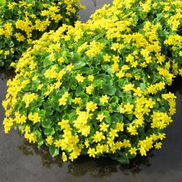 Large Giant Marsh Marigold Caltha palustris 'Polypetala' - 3L Pot