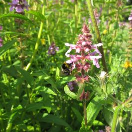 Large Marsh Woundwort Stachys palustris - 3L Pot