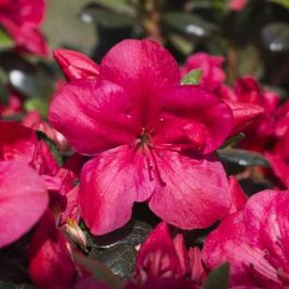 1ft Evergreen Azalea 'Maruska' |3L Pot | Azelea japonica