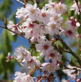 3ft 'Mikinori' Cherry Blossom Tree | Prunus incisa 'Mikinori' | 11.5L Pot | TW at 45cm | By Frank P Matthews