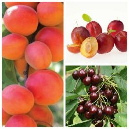 Mini Orchard Collection - 5ft Apricot, Cherry and Plum Trees