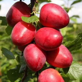 5ft 'Mirabelle 'Ruby' Plum Tree | SJA Semi Vigorous Rootstock | Bare Root | By Frank P Matthews™