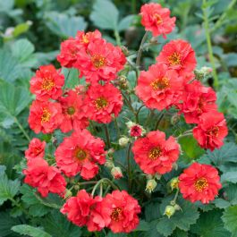 Geum 'Mrs Bradshaw' | 2L Pot