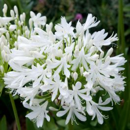Agapanthus 'Bridal Bouquet' | 3L Pot