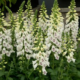 Digitalis 'Dalmatian White' | 3L Pot