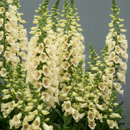 Digitalis 'Dalmatian Cream' | 3L Pot