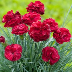 Dianthus Scented 'Passion' | 2L Pot