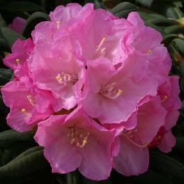 1ft Rhododendron 'Morning Cloud' | 3L Pot | Rhododendron Yakushimanum