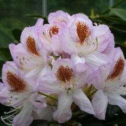 2ft Rhododendron 'Mrs T. H. Lowinsky ' | 7.5L Pot | Rhododendron Hybrid