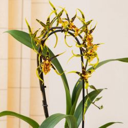 65cm Cambria Orchid 'Mystic Maze' | 12cm Pot | By Plant Theory