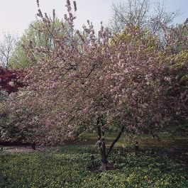 Neville Copeman Purple Crabapple Tree | Bare Root | Malus x purpurea 'Neville Copeman'