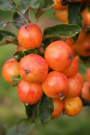 5ft 'Nuvar Marble' Crabapple Tree | Malus 'Nuvar Marble' | 12L Pot | By Frank P Matthews