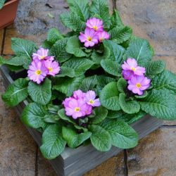 4 x Primula 'Woodland Rose' Plants in Grey Pallet Planter