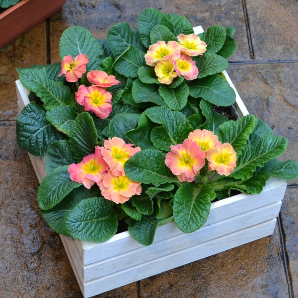 4 x Primula 'Chameleon' Plants in White Pallet Planter