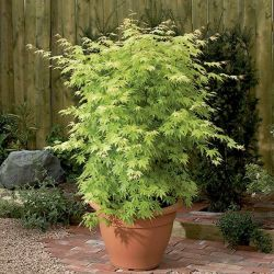 2ft Orange Dream Acer Tree | 7.5L Pot | Acer Palmatum