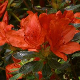 1ft Evergreen Azalea 'Orange King' |3L Pot | Azelea japonica