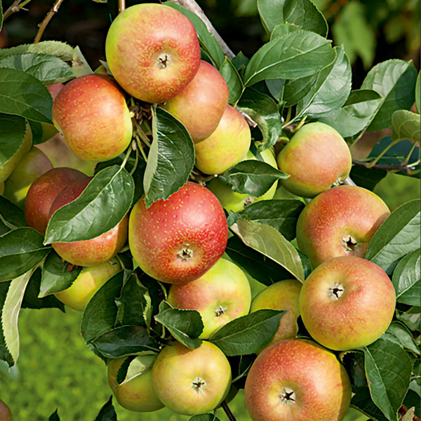 5ft 'Orlean's Reinette' Dual Purpose Apple Tree | M26 Semi Dwarfing Rootstock | Bare Root