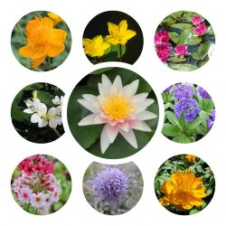 Small Ornamental Colour Pond Plant Collection 6x 9cm Pots