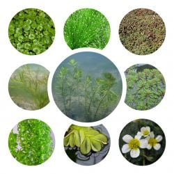 Small Oxygenating Pond Plant Collection 6x 9cm Pots