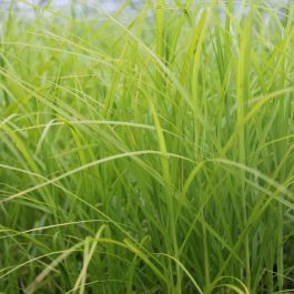 Large Palm Branch Sedge Carex muskingumensis - 3L Pot