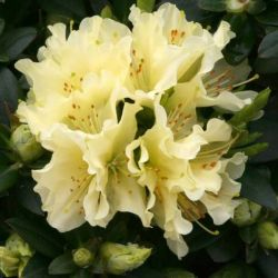 1ft Dwarf Rhododendron 'Patty Bee' | 3L Pot