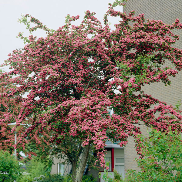 5ft Red Hawthorn Tree | 9L Pot | Crataegus laevigata 'Paul's Scarlet'
