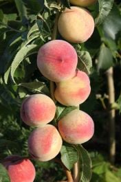 6ft 'Peregrine' Peach Tree | SJA Semi Vigorous Rootstock  | Bare Root Maiden | By Frank P Matthews™