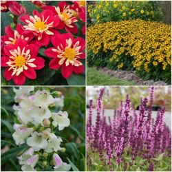 30 x Perennial Bedding Plants Collection | Hand-Picked Jumbo Plug Plants