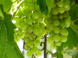 3ft 'Perlette' Grape Vine | 3L Pot | Seedless | Outdoor