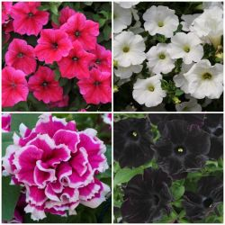 90 x Pretty Petunia Collection | Hand-Picked Jumbo Plug Plants