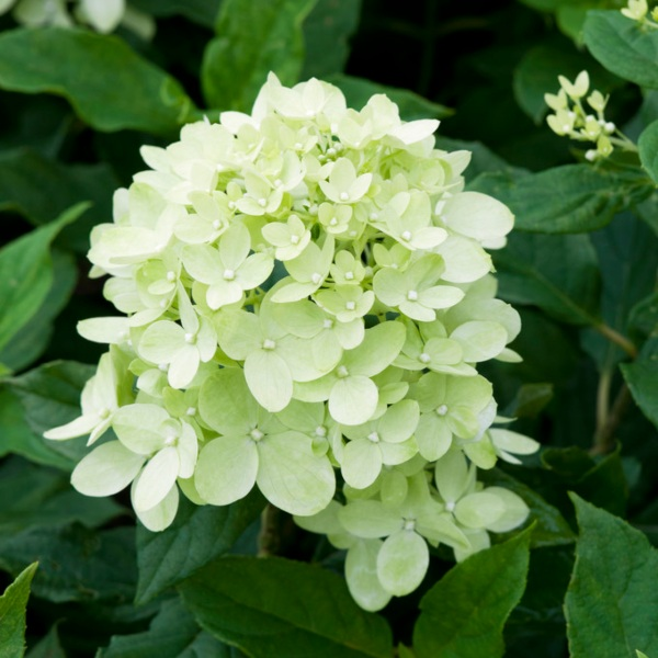 2ft 'Living Little Lime' | 4.5L Pot | Hydrangea Paniculata