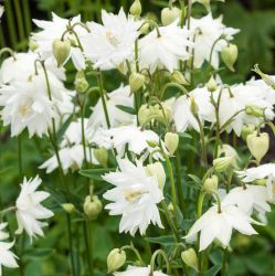 Aquilegia 'Green Apples' | 3L Pot