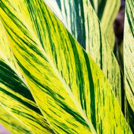 120cm Variegated Ginger Shell Plant | Alpinia Zerumbet 'Variegata' | 4L Pot | By Plant Theory