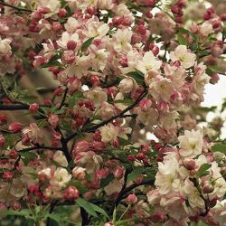 Pink Perfection Crabapple Tree | Bare Root | Malus 'Pink Perfection'