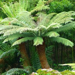 4ft Hardy Tree Fern - 'Dicksonia Antarctica'