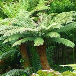 6ft Hardy Tree Fern - 'Dicksonia Antarctica'