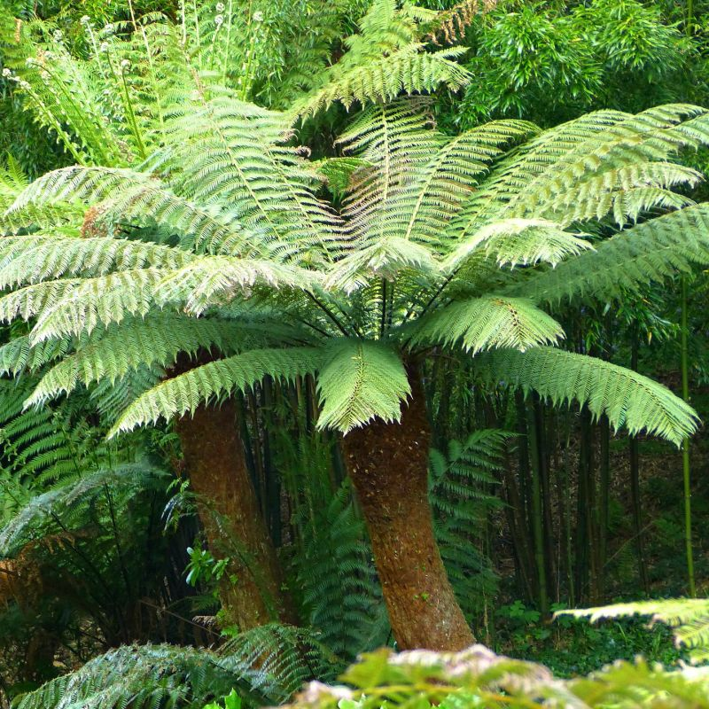 1ft hardy tree fern 39 dicksonia antarctica 39. Black Bedroom Furniture Sets. Home Design Ideas